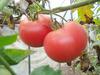 館裏の完熟トマト(採りたてをお食事処でお出しします)