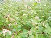 自家栽培の蕎麦と花