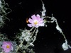 2013/11/11初雪とコスモス