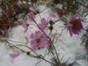 2013/11/12 雪とその後のコスモス